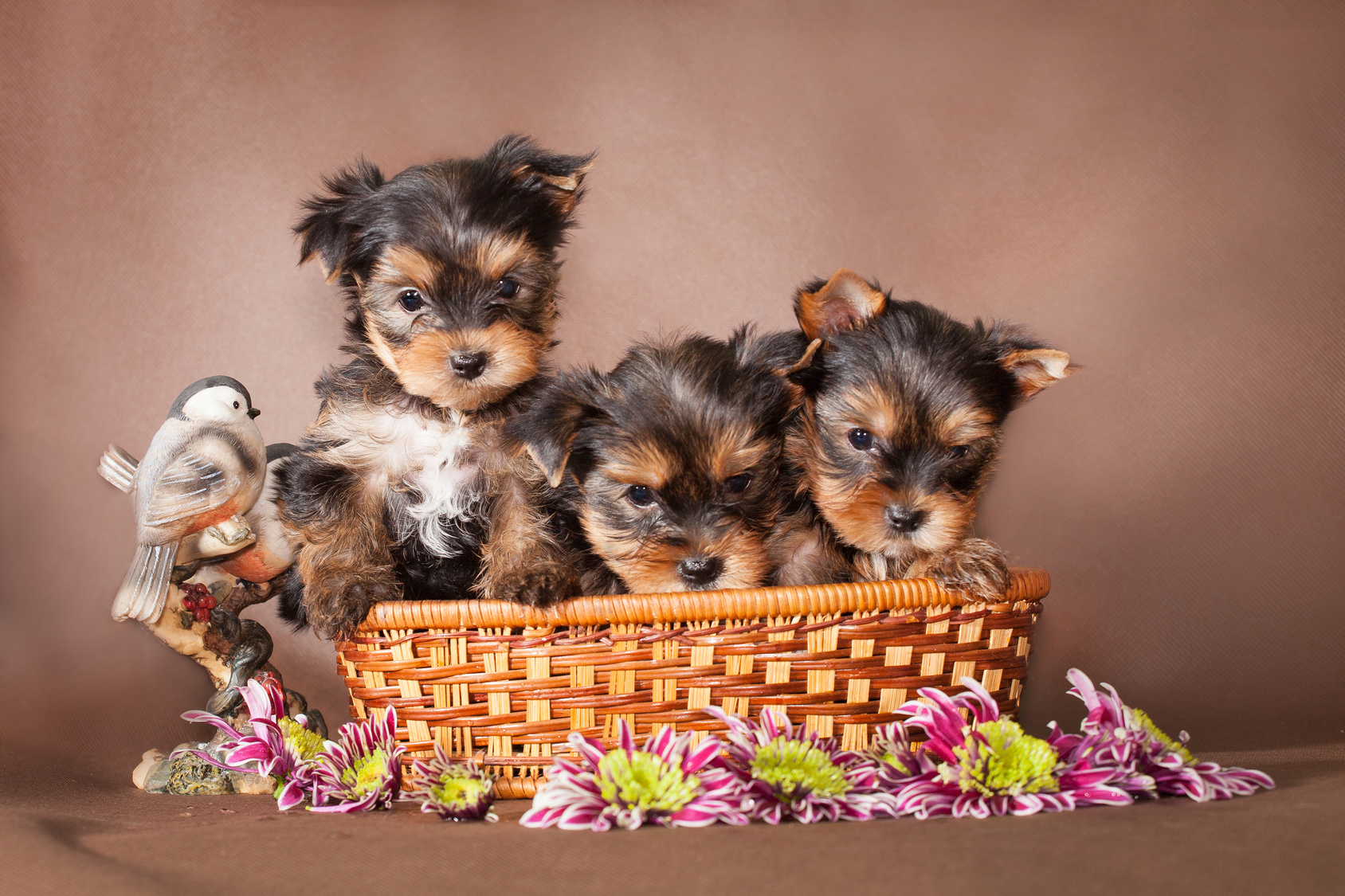 Rainbow creek kennels, yorkies, dog, breeder, rainbow-creek, dog-breeder, south butler, ny, new york, for, sale, puppies, puppy, pups, inspected, insp